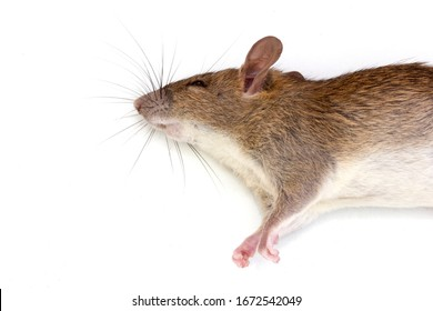 Close up shot dead rat or mouse lying isolated on white background, Rodenticide concept in agriculture, Rat are carriers of pathogens, so find a way to eliminate rat