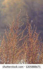 Close up shot of dried sagebrush against sunlight. Nature autumn background.