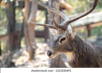 Close up shot of an Eld's Deer or brow- antlered deer head, face and horns with blurred bokeh filed background in the morning sunlight