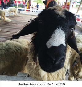 Close up shot of a funny goat face.