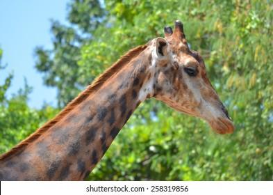A close up shot of giraffe.