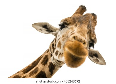 Close up shot of giraffe head isolate on white