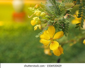 Close up shot of Glossy shower, Senna surattensis or golden senna, a pretty yellow flower with a blurred beautiful natural background.
