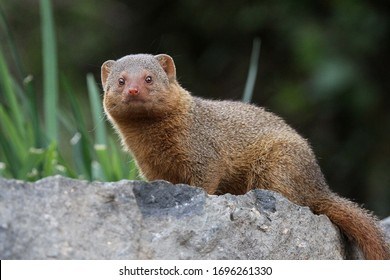 A close up shot of a golden mongoose on a rock.