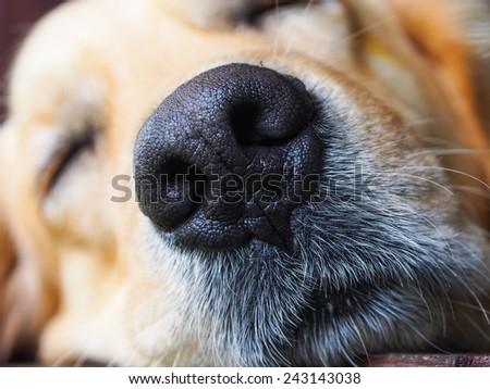 Close Shot Golden Retriever Nose Stock Photo Edit Now 243143038