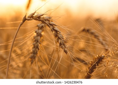 Close up shot of golden wheat spike illuminated by rays of the sun at sunset. Sunset in the field.