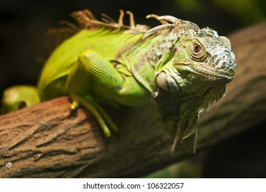 A close up shot of a green Iguana resting on a tree branch