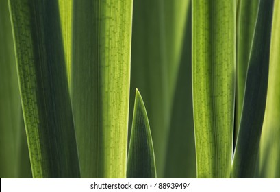 Close up shot of green plant leaves that are back lit by sunlight. Showing the leaf structure detail and creating a pleasing abstract pattern background