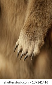 Close up shot of a grizzly bear paw, claws and all.  Shallow depth of field.