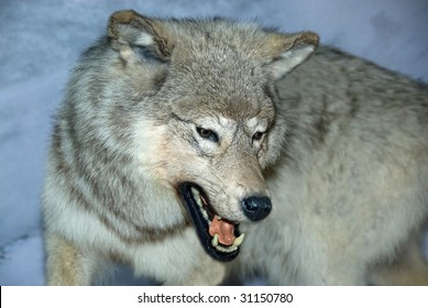 A close up shot of a growling white wolf