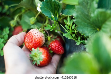 Close up shot Hand pick a branch of strawberry with planting strawberry background
