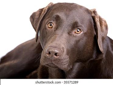 Close Up Shot of a Handsome Chocolate Labrador against White