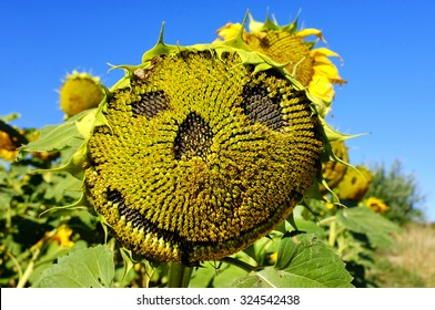 Close up shot of an happy face on a sunflower