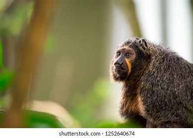 Close up shot head focus of a brown capuchin with green blurry background in a zoo in singapore