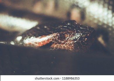 Close up shot Head of green anaconda (Eunectes murinus), also known as the common anaconda and water boa, is a non-venomous boa species found in South America. Boidae family. Amazon, Brazil