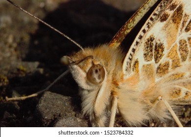 Close up shot of the head of a Painted Lady (Vanessa cardui) butterfly at rest during sunset.