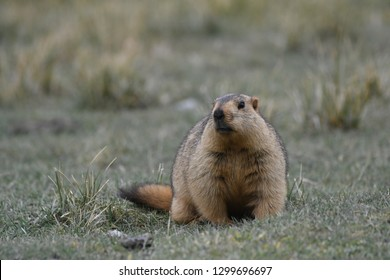 Close shot of Himalayan marmot in Ladakh, India