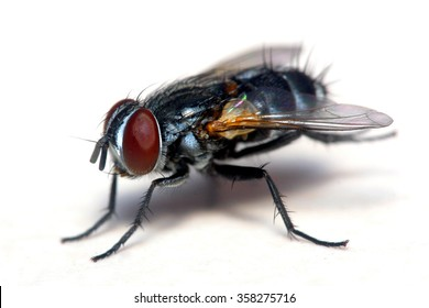 Close up shot of a Housefly