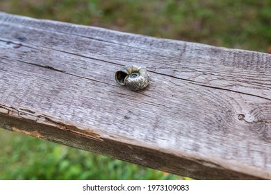 Close up shot of a isolated snail gastropod shell lying on a wooden board with green grass in the background