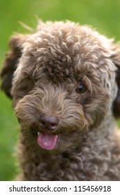 close up shot of laughing poodle dog sitting on the ground