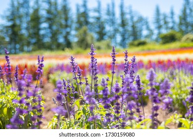 Close up shot of a lavender at Biei, Hokkaido