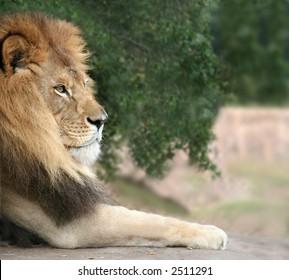A close shot of a lion resting