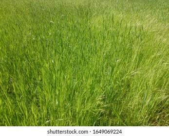 Close up shot of lush grass