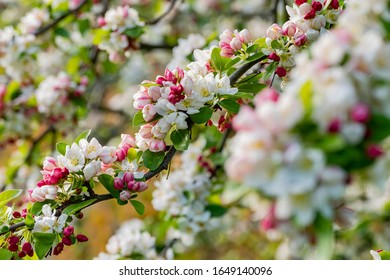 Close up shot of Malus 'Evereste' blossom in the Kew Garden at Richmond, United Kingdom