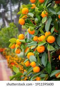 Close up shot of mature tangerine hanging on the tree at Macau