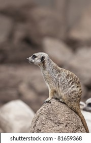 A close up shot of a meerkat.