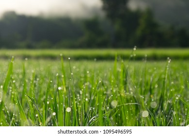 Close up shot of in the middle of green rice plantation in Nan province, Northern Thailand