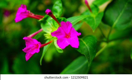 Close up shot of mirabillis jalapa flower.