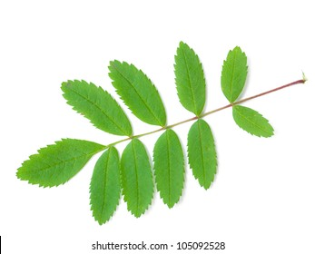 A close up shot of a mountain ash leaf