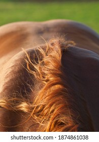 A close up shot of the neck, withers and back of a rare breed Suffolk Punch horse.