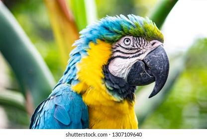 Close shot of a nice specimen of a blue and yellow macaw (Ara ararauna)