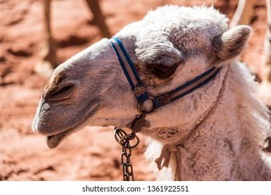 Close up shot on a camel