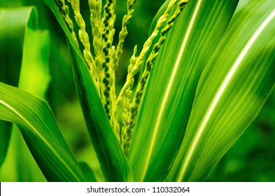 close up shot on corn stalk blossom in a field with blur leaves background