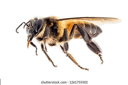 close up shot on honey bee isolated on white background, stacking focus added then very high details.