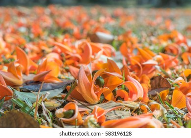close up shot of orange dhak flower on ground on day time .