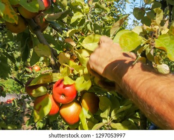 close up shot of an orchard worker picking ripe red apples from a tree in huonville, tasmania
