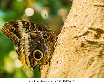 Close up shot of Owl butterfly resting on tree trunk at Sanfrancisco