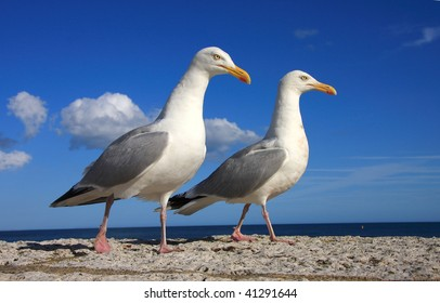 Close up shot of a pair of herring gulls photographed against blue sky