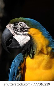 Close up shot of parrot macaw face contains yellow and blue feathers.