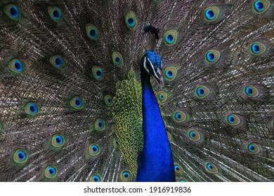 Close up shot of peacock.
