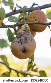 Close shot of a pears affected by scab of the pear tree disease