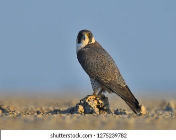 close shot of  peregrine falcon, Little Rann of Kutch, Gujarat,  India,
