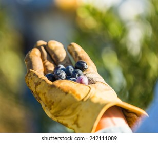 Close up shot of a persons hand in a weathered leather glove holding olives at a olive harvest in Paso Robles, California