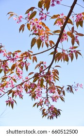 Close up shot of pink Himalayan cherry trees in bloom. This was shot on a mountain range in Chiang Mai, Thailand.