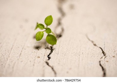 Close up shot of a plant plant growing through crack in pavement