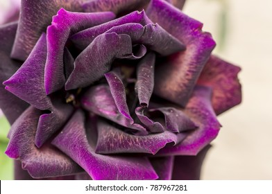Close up shot of a purple blooming rose